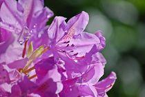 Rhododendron... 29 von loewenherz-artwork