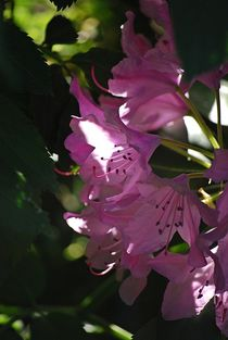 Rhododendron... 18 by loewenherz-artwork