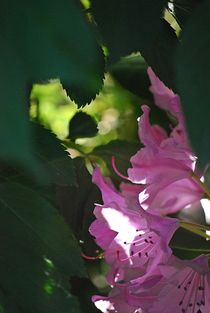 Rhododendron... 20 by loewenherz-artwork
