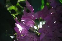 Rhododendron... 19 by loewenherz-artwork