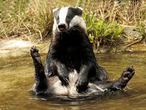 BADGER by Bill Pound