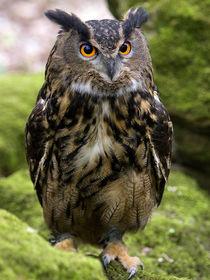 European Eagle Owl by Bill Pound