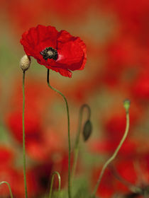 Single Poppy by Bill Pound