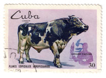 Cow from Cuba by Polina Zverev