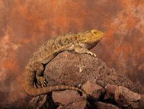 Bearded dragon 02 by Bill Pound