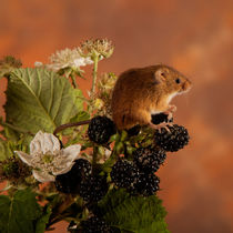Harvest Mice 02 by Bill Pound