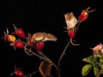Harvest Mice 01 by Bill Pound