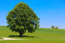 'Einsamer Baum' von stephiii
