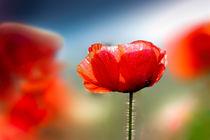 | Poppy | by franziskus