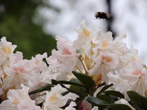 Rhododendron by Christoph E. Hampel