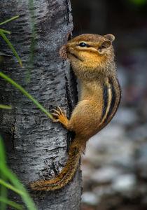 Chipmunk by Tim Seward