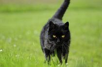 Schwarze Katze Grüne Augen, Black Cat Green Eyes by art-adisan
