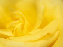 Rosentraum in gelb by kerliham-foto