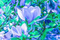 MAGNOLIE (magnolia) by helmut krauß