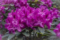 RHODODENDRON (rhododendron) von helmut krauß
