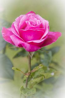 ROSE (rosa) by helmut krauß