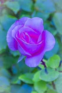 ROSE (rosa) von helmut krauß
