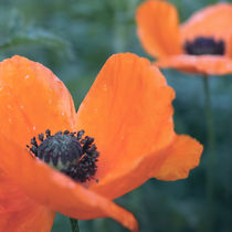 Poppies after rain by Andrei Grigorev