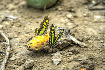 Butterfly Feast by Rob Hawkins