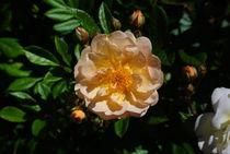 Rosenblüte by Maik Harker