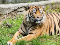 Resting Tiger by David Bishop