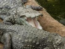 Alligator Smile by David Bishop