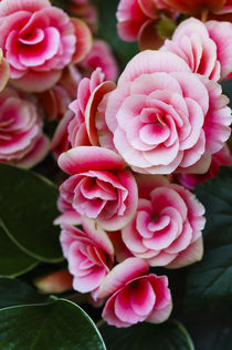 Blushing Pink Roses by FirstName LastName