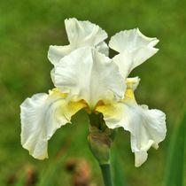 Weiß gelbe Lilienblüte von kattobello