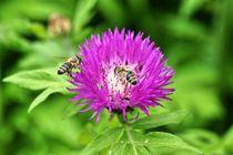 Honigbienen auf rosa Blüte by kattobello