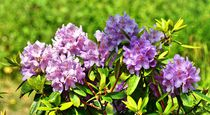 Hell lila Rhododendron von kattobello