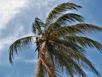 Kokospalme im Sturm von assy