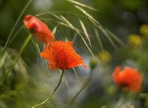 Leuchtende Mohnblumen von micha-trillhaase-fotografie