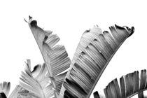 Banana leaves Black & White II von nordik