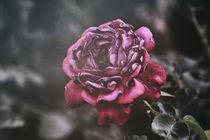 ...ist eine Rose... und doch anders. von Petra Dreiling-Schewe