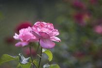 Pink Rose von Petra Dreiling-Schewe