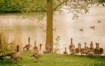 Geese near a lake by andreas-marquardt