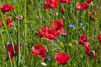 Roter Mohn auf den Feldern in Brandenburg by captainsilva
