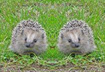 Igel Zwillinge von kattobello