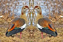Nilgänse Zwillinge von kattobello