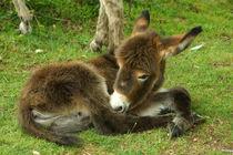 Donkey Foal, Eselfohlen von Sabine Radtke