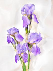 White-violet  iris von Elena Oglezneva