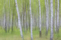 birches von Daniel Burdach