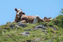 Zwischen Arnika und Almenrausch - Kuh auf der Alm by Chris Berger