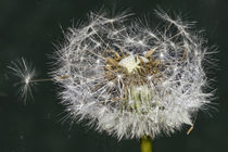 Sparkling drops  - Dandelion in the dark by Chris Berger