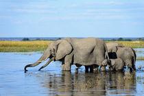 Elefanten im Chobe Fluss in Botswana. by Frauke Scholz