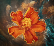 Fire Flower.jpg by Michael Dalla Costa