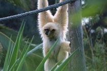 Der Gibbon by julia-go