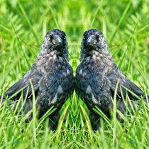 Dohlen Zwillinge von kattobello