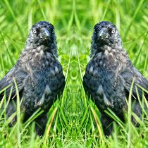 Dohlen Zwillinge 2 von kattobello