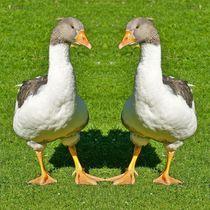 Hausgänse Zwillinge von kattobello